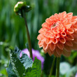 Orange Dahlia flower in a garden — Stock Photo #34457947