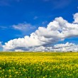 Panorama of yellow rape field — Stock Photo