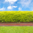 Tall hedge with part of the brick wall — Stock Photo