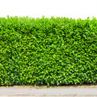 Stock Photo: Tall hedge isolated