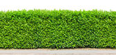 Tall hedge isolated — Stock Photo