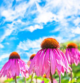 Purple Coneflower — Stock Photo