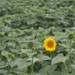 Lone sunflower — Stock Photo
