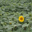 Stock Photo: Lone sunflower
