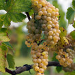 Ripe Chenin grape, Savenniere, France — Stockfoto