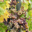 Stock Photo: Botrytised Chenin grape, early stage, Savenniere, France