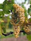 Ripe Chenin grape, Savenniere, France — Stock Photo