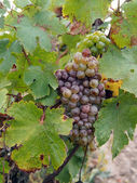 Botrytised Chenin grape, early stage, Savenniere, France — Stock Photo