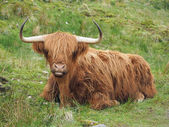 Highland cattle, western Scotland highlands — Stock Photo