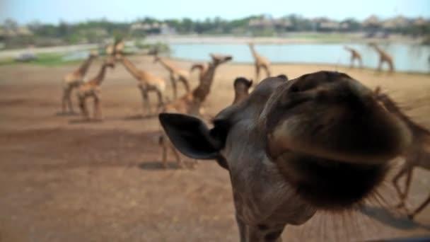 Jirafas en el zoológico — Vídeo de stock