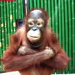 Cute orangutan — Stock Video