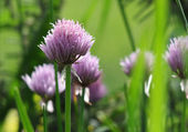 Chive flowers in garden — Stock Photo
