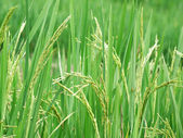 Rice ripening in the field — Stock Photo
