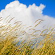 Yellow Wheat in summertime against a blue sky and a white cloud — Stock Photo