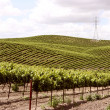Idillyc vineyards on small slopes — Stock Photo