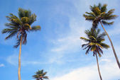 Palm trees and sky seen from below — Photo