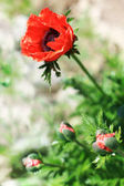 Big Decorative Red Poppy. Low depth of focus. — Stock Photo