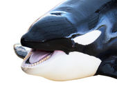 Orca with his mouth open — Stock Photo
