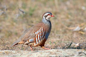 Red partridge wild — Stock Photo