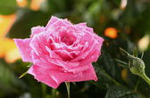 Pink rose with dew — Stock Photo