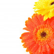 Yellow and Orange Gerbera Flowers — Stock Photo