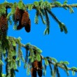 Pine Tree and Cones - Stock Photo