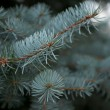 Stock Photo: Branchlet of Blue Fir Tree