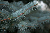 Branchlet of Blue Fir Tree — Stock Photo