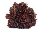 Lollo Rosso Lettuce — Stock Photo