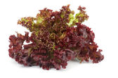 Lollo Rosso Lettuce — Photo