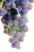 Unripe Grape — Stock Photo