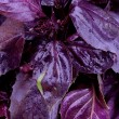 Basil Leaves — Stock Photo #30987611