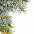 Spruce Branch — Stock Photo #32433473
