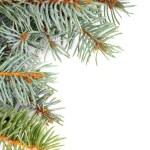 Spruce Branch — Stock Photo #32433473