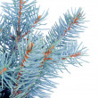 Bunch of Blue Spruce Branch — 图库照片