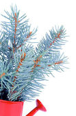 Bunch of Blue Spruce Branch — Stock Photo