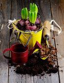 Hyazinthe Blumenzwiebeln pflanzen — Stockfoto