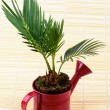 Little Palm Chrysalidocarpus Areca — Stock Photo