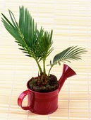 Little Palm Chrysalidocarpus Areca — Stock Photo