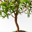 Myrtus tree — Stock Photo #12007236