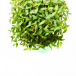 Stock Photo: myrtus tree