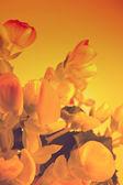 Begonia — Stock Photo