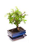 Ulmus parvifolia Jacq. — Stock Photo