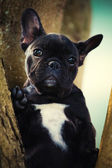 French bulldog portrait in the garden — Stock Photo