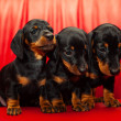 Dachshund — Stock Photo #14663469