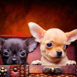 Puppies in studio - Stock Photo