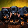Dachshund — Stock Photo #24089429