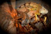 Iguana relaxar — Foto Stock