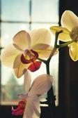 Divoká orchidej — Stock fotografie