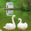 Pair of white swans — Stock Photo